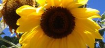 Sunflower hosted on Pexel