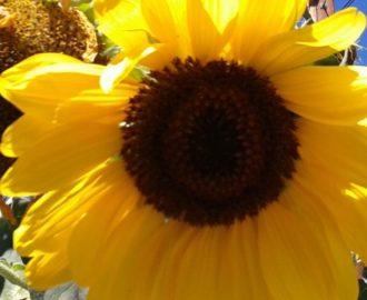 Sunflower hosted on Pexel